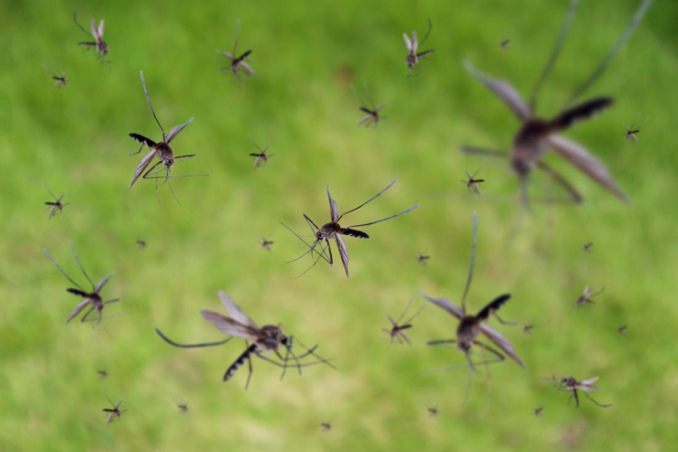 swarm-of-mosquitoes